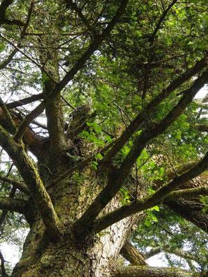 モミの巨木の上にヤシャビシャクが!