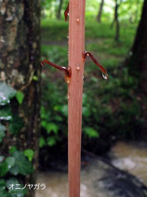 オニノヤガラの鱗片葉