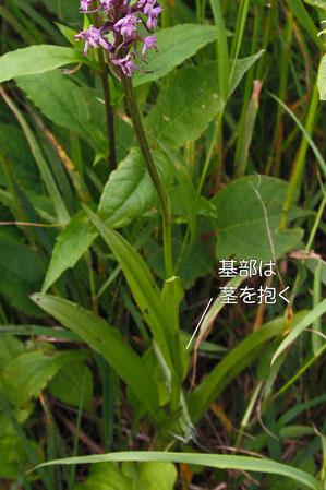 テガタチドリの葉
