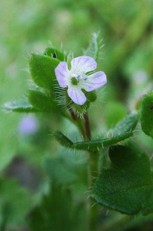 フラサバソウの花の直径は、5mmほど