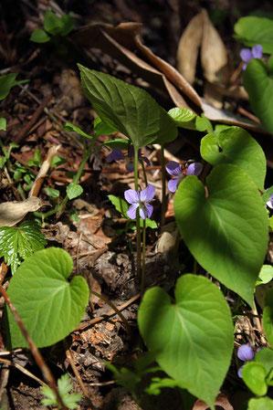 スミレサイシン まだ花期なのに葉が大きい!