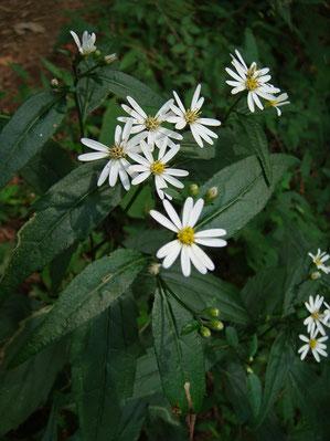 シラヤマギク (白山菊) キク科