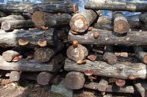 林内に井桁積みされたぼだ木に生えた椎茸