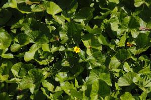 エンコウソウ  わずかに咲き残っていた