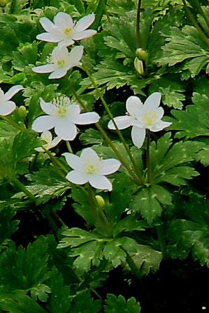 #9 3花が開花したニリンソウ(右側)