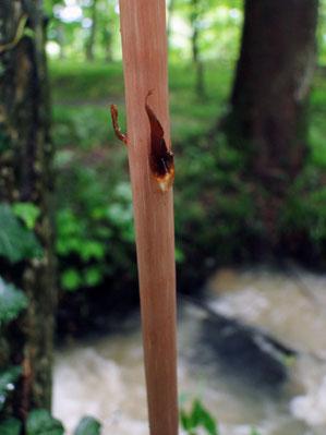 #9 オニノヤガラの鱗片葉