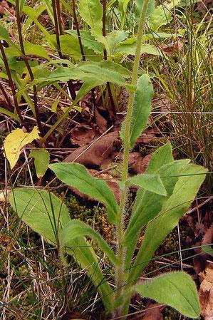 ミヤマコウゾリナの根生葉