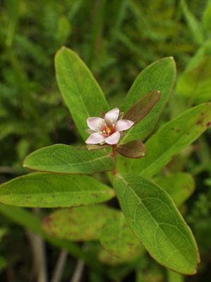 ミズオトギリ (水弟切) オトギリソウ科 ミズオトギリ属