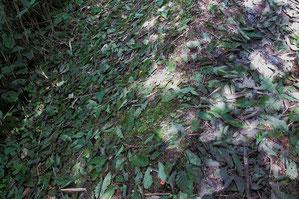 登山道にまだ緑色のミズナラの葉が多数落ちていた