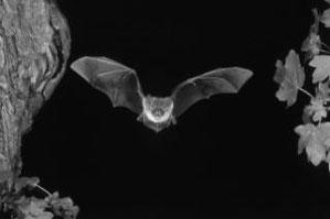 Bechsteinfledermaus (Myotis bechsteini) fliegt an ihrem Baumhöhlenquartier, einer alten Spechthöhle vorbei. Foto: NABU-Archiv, Klaus Bogon.