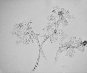 Wilted Anemones 萎れたアネモネ (Pencil drawing,dessin)