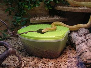 Kornnatter Butter circleback mit Eiablagebox