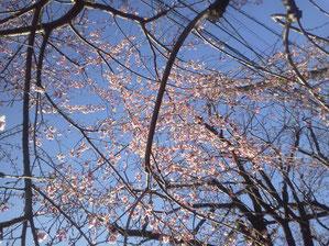 南馬込3丁目付近の桜