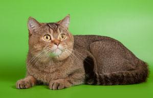 Шотландский короткошерстный кот скоттиш страйт