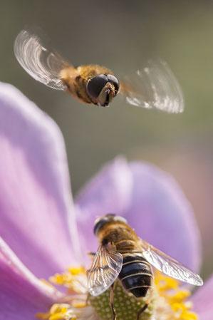 Schwebfliegen auf einer Anemone