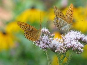 Wer im eigenen Garten etwas für Insekten tun möchte, sollte auf heimische Blühpflanzen setzen. Der Kaisermantel mag Dost, Disteln und Brombeeren besonders gerne. Foto: Birgit Helbig