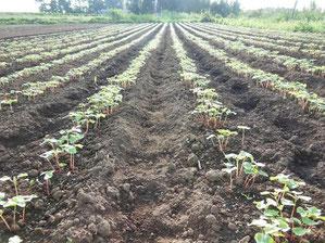 有機栽培のそば作り