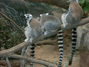 Ring Necked Lemurs from Madagascar Await Your Visit