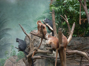 Group a Langurs Grooming Themselves at Jungle World