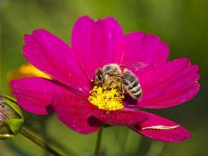 Honigbiene sammelt Pollen. - Foto: Kathy Büscher