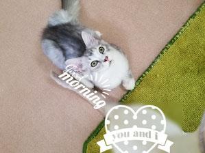 格安仔猫の猫の部屋セイワ!可愛いマンチカンの仔猫です。