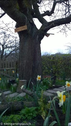 Alter Kirschbaum, davor Steinstufen, Narzissen, alte Äste zur Zierde im Beet, Farne