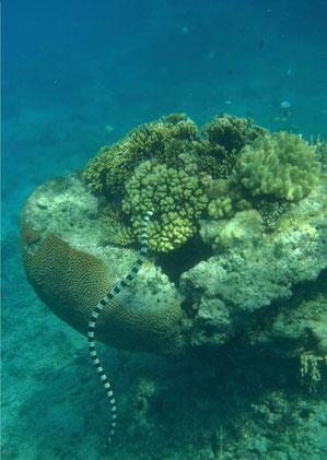 Banded sea krait, sea snake, Caqalai, Fiji