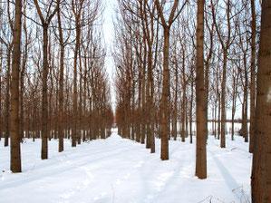 Paulownia Plantage Winter