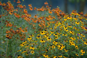 Floraison des rudbeckia et des Helenium (photo Alain Tessier)