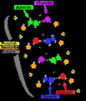 Abb.: Strukturformel eines DNA-Ausschnittes (Q: Wikipedia)
