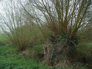 Coppiced and pollarded willows