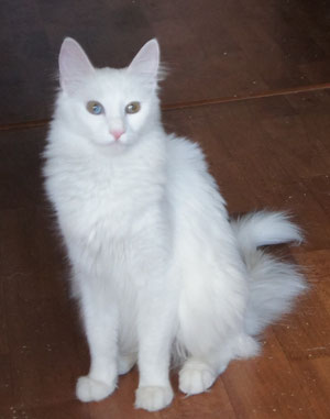 Lada Kedi Annabel, OEW female, mother of Litter C Geraylar