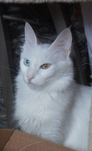 CH CFA, CH FIFe Lada Kedi Aquamarine of Geraylar, OEW female, mother of SGC TICA Geraylar Gurg Geray - 1,5 y.o.back at home