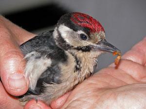 Oft sind verletzte Vögel zu retten.
