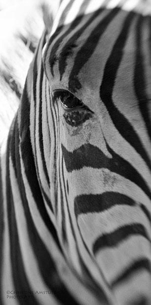 Zebra`s Blick ganz aus der Bähe