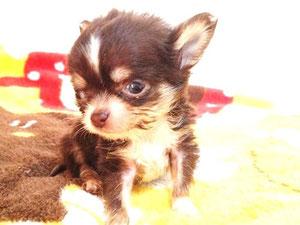 miniサイズのチワワの子犬♪