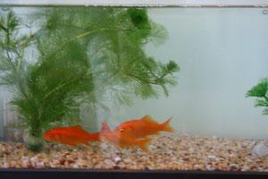 大きな水槽になって金魚たちも気持ちよさそうです
