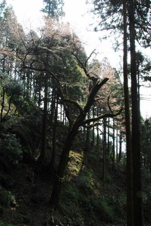 孫の薄墨桜: 行司ヶ岳に城を築いた朝倉なにがしが継体天皇ゆかりの薄墨桜の苗を植えたとのこと