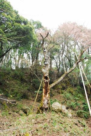 薄墨桜:説明は次の写真で。今年の雪で手前の枝が折れたらしい。登るときはしめ縄は下に落ちていた。(市の職員が手入れした)