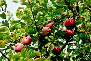 29. Oktober 2013 - Die süßesten Früchte fressen nur die großen Tiere, Nur weil die Bäume hoch sind und diese Tiere groß sind, Die süßesten Früchte schmecken Dir und mir genauso, Doch weil wir beide klein sind, erreichen wir sie nie. (Peter Alexander)