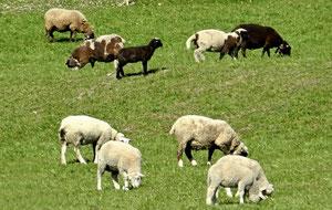 25. März 2013 - Rapperswil-Jona - 26'000 Einwohner - zehn Schafe - weisse, schwarze, braune, gefleckte