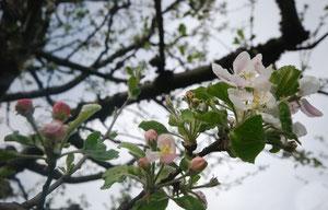 27. April 2012 - Unser Calvados blüht