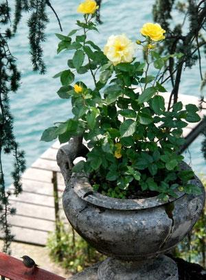 17. Juni 2012 - Der Spatz und die Rose