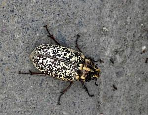 19. Juli 2013 - Betonkäfer - hat sich der Käfer dem Beton angepasst ?