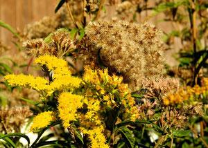 04. September 2013 -  Die Schönen und die Wilden - als Neophyten geächtet, als Blumen geschätzt
