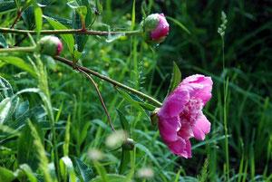 27.Mai.2012 - Pfingsten, das liebliche Fest war gekommen; es grünten und blühten Feld und Wald...