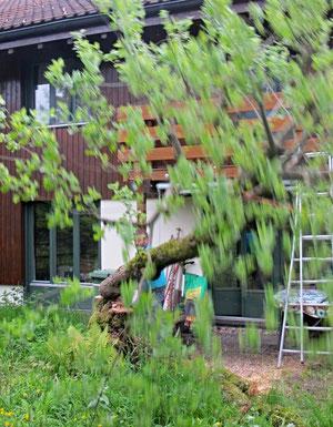 13. Mai 2013 - Requiem auf einen Baum