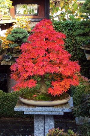 "acer palmatum ""mikawa"""