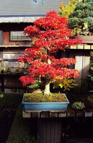 "acer palmatum ""shishigashira"""
