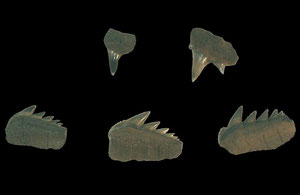 Siebenkiemerhai, Notorynchus primigenius, Hemmoorium Oberes Untermiozän ca. 18 Mill. Jahre